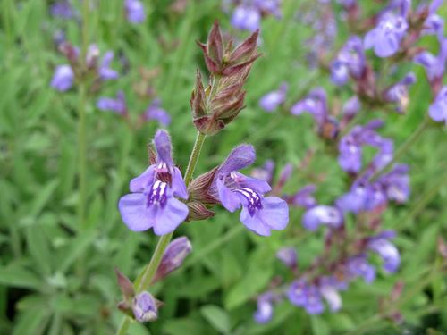 "Salvia officinalis ssp ""lavandulifolia"""
