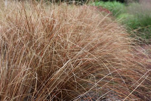 "Carex buchananii ""Red Rooster"""